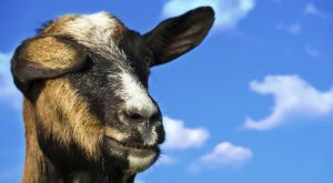 Inspirational Quotes From Goats