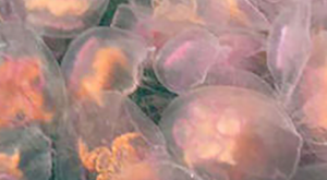 Dazzling Jellyfish Turn British Coast Into Multi Colored Marvel In Stunning Pictures #animals explore…