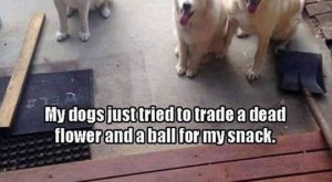 "Pic pf three dogs with the caption, ""My dogs just tried to trade a…"