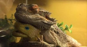 funny caption bearded dragon gets attached to toy sleeps with it everyday #beardeddragonfunny explore…