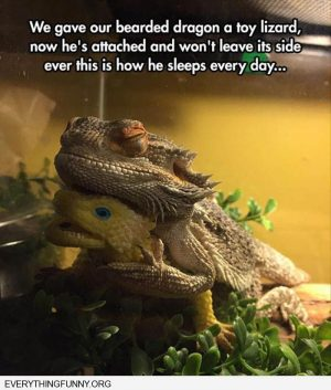 funny caption bearded dragon gets attached to toy sleeps with it everyday #beardeddragonfu...