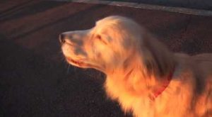 Hilarious moment dog imitates an emergency siren by howling