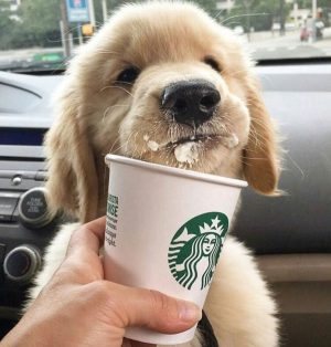 Pup enjoying a puppuchino