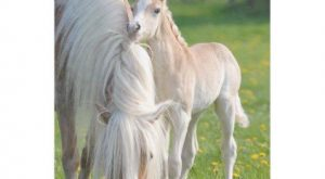 Haflinger Horses Cute Baby Foal With Mum Photo