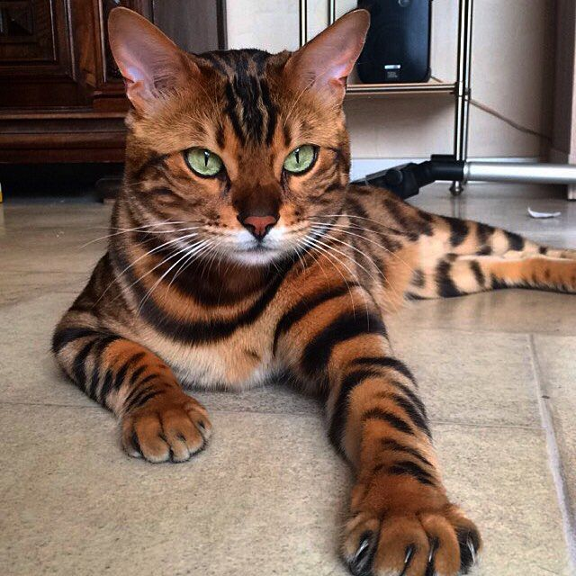 A beautiful Belgian Bengal Cat