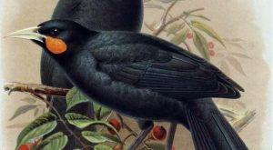 Feather of a Huia bird – $10,000