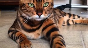 A Belgian Bengal Cat Whose Deep Green Eyes