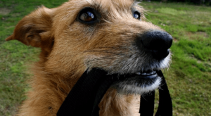 Funny dog meme of a picture of a dog with a leash in his mouth and