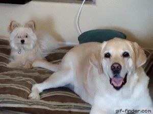 Big dog hits small dog in face with wagging tail 2